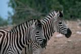 Zebras in Grassy Area Photographic Print