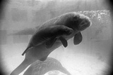 Manatee Mother and Newborn Swimming Photographic Print
