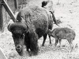 Newborn Buffalo with Mother Photographic Print