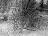 Peacock Flaring Tail Feathers Photographic Print