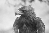 Head of a Golden Eagle Photographic Print