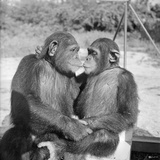 Two Chimpanzees Hugging Fotografisk tryk af Michael J. Ackerman