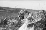 Coyote on Prairie Lurking for Prey Photographic Print by Philip Gendreau