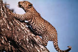 African Leopard Climbing a Tree Photographic Print