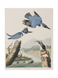 Illustration from 'Birds of America', 1827-38 Giclee Print by John James Audubon