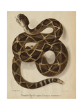 Illustration of a Diamond Rattlesnake Giclee Print