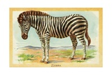 Zebra Postcard Giclee Print