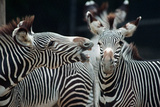 Zebras as Friends Photographic Print by Gary Edwards