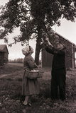 Farmer Pulls Pears from a Tree Photographic Print by Philip Gendreau