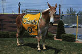 Portrait of Mule Mascot Charlie O Photographic Print
