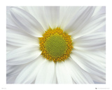 Flowers - Daisy Obrazy