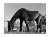 Old Horse Giclee Print by Jack Delano
