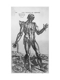 The Muscular System Giclee Print