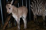 Gene Spliced Zebra and Donkey Specimen Stampa fotografica di Masaharu Hatano