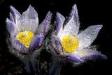 Prairie Crocus Blossoms (Anemone Patens) after a Spring Rain Shower, Alberta, Canada. Photographic Print by Wayne Lynch