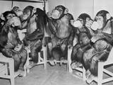 Chimpanzees Drinking Milk Photographic Print