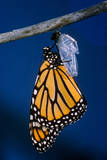 Monarch Butterfly Emerging from Cocoon Photographic Print by Philip Gendreau