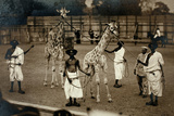 Giraffes and their Somali Handlers, C.1905 Photographic Print