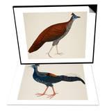 Crested Fireback Pheasant & Crested Fireback Pheasant Set Print by J. Briois