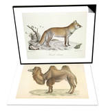 A Fox & A Bactrian Camel Set Posters by  Werner