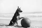 Rin Tin Tin Photographic Print by Hulton Archive