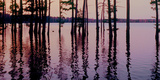 Cypress trees in the waters of Hovey Lake at sunset, Indiana, USA Reprodukcja zdjęcia autor Anna Miller