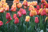 Tulips in White River Gardens, Indianapolis, Indiana, USA Photographic Print by Anna Miller