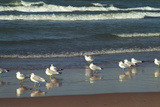 Flock of seaguls on the beaches of Lake Michigan, Indiana Dunes, Indiana, USA Reproduction photographique par Anna Miller