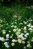 Wildflowers in Cataract Falls State Park, Indiana, USA Photographic Print by Anna Miller