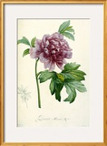 Hand Colored Engraving of a Peony, 1812-1814 Posters by Pierre-Joseph Redouté