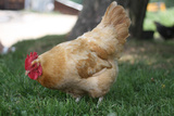 Rooster 4 Photo Art Print Poster Photo