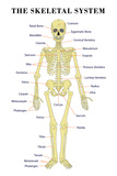 The Skeletal System Anatomical Chart Scientific Poster Print Print