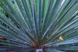 Yucca, Brown County State Park, Indiana, USA Photographic Print by Anna Miller