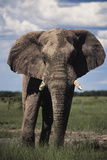 Namibia, Etosha NP, Elephant Young Male, African Bush Elephant Photographic Print by Walter Bibikow