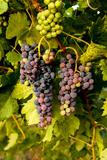 USA, Washington, Okanogan Valley, Omak. Pinot Grapes in Vineyard Photographic Print by Richard Duval