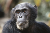 Tanzania, Gombe Stream National Park, Close-Up of Male Chimpanzee Photographic Print by Kristin Mosher