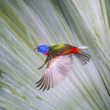 USA, Florida, Immokalee, Male Painted Bunting Flying Photographic Print by Bernard Friel