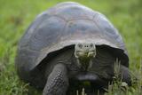 Ecuador, Galapagos, Santa Cruz Island. Galapagos Giant Tortoise Photographic Print by Kevin Oke