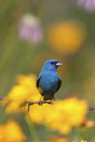 Indigo Bunting on Barbed Wire Fence in Garden, Marion, Illinois, Usa Photographic Print by Richard ans Susan Day