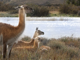 Resting Guanaco. Torres Del Paine NP. Chile. UNESCO Biosphere Photographic Print by Tom Norring