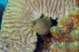 Goldentail Moray Eel in Coral Head. Curacao, Netherlands Antilles Fotografie-Druck von Barry Brown