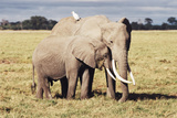 Kenya, Amboseli National Park, Mother Elephant with Young Photographic PrintKent Foster