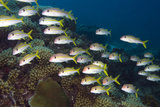 School of Yellow Goatfish, Coral Reef. Curacao, Netherlands Antilles Photographic Print by Barry Brown