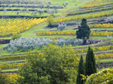 Italy, Tuscany. Rows of Vines and Olive Groves Carpet the Countryside Photographic Print by Julie Eggers