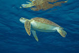 Green Sea Turtle Rising to the Surface. Curacao, Netherlands Antilles Photographic Print by Barry Brown