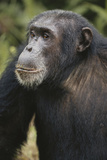 Tanzania, Gombe Stream National Park, Male Chimpanzee Photographic Print by Kristin Mosher