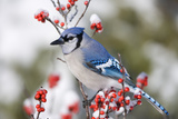Blue Jay in Common Winterberry in Winter, Marion, Illinois, Usa Photographic Print by Richard ans Susan Day