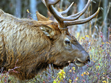 A Bull Elk Grazes in the Rocky Mountains in Jasper NP, Canada Photographic Print by Richard Wright