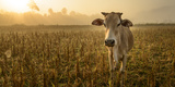 Laos, Vang Vieng. Cow at Sunrise Photographic Print by Matt Freedman