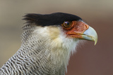 Portrait of Southern Crested Caracara. Torres Del Paine NP. Chile Photographic Print by Tom Norring